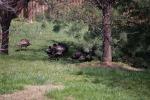 Wild turkeys in the back yard!
